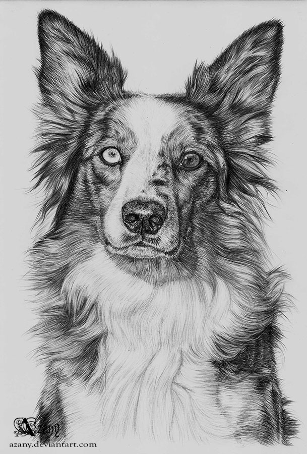 border collie by azany