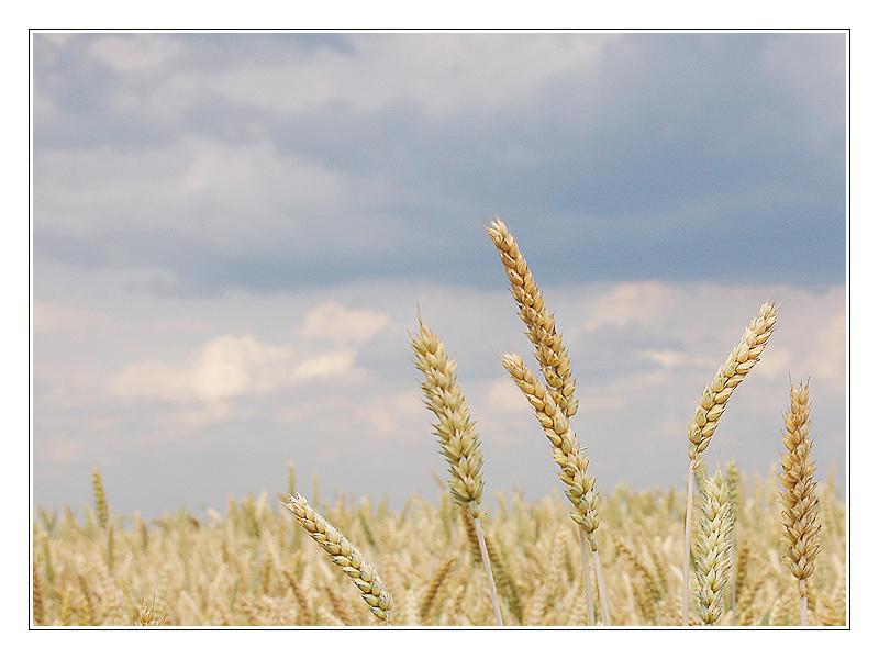 corn 2 by creativegrafix