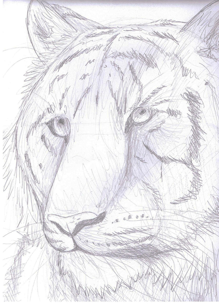 Tiger pencil sketch by Finchwing on DeviantArt