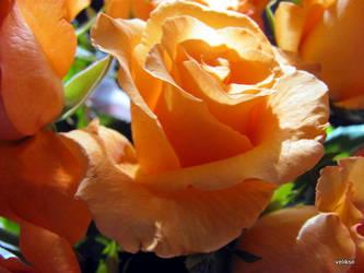 Orange Roses by velikse