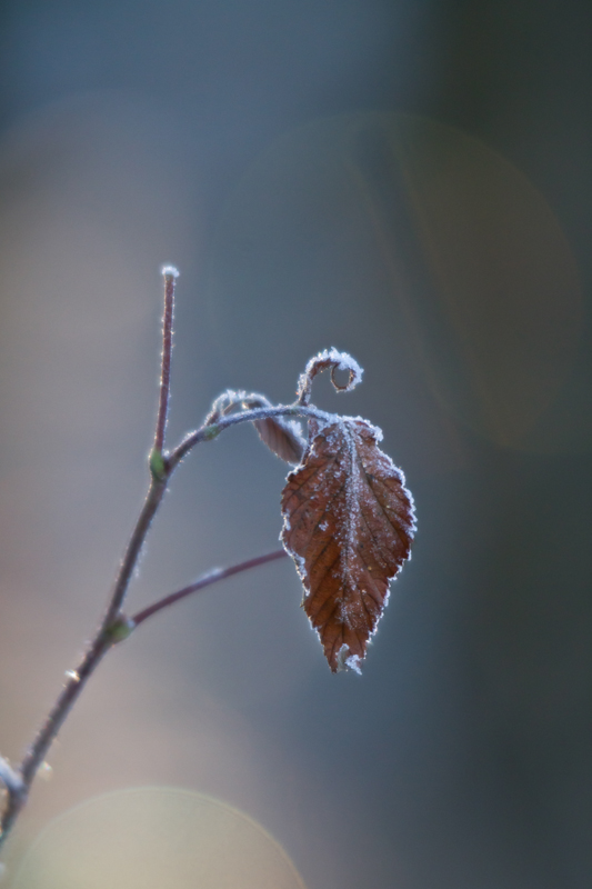 Frozen leaf by Antz0