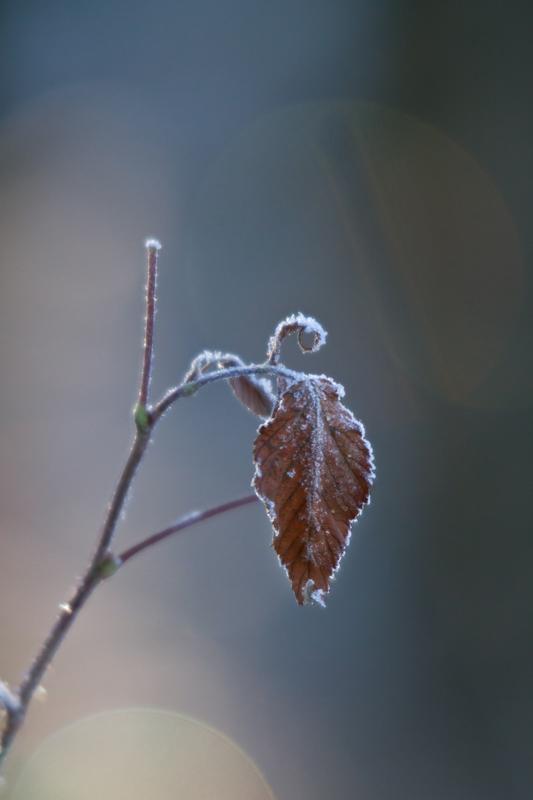 Frozen leaf by Antz0