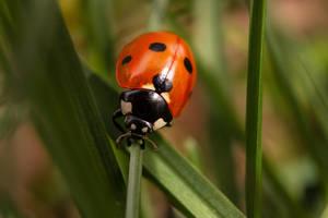 Ladybug by Antz0