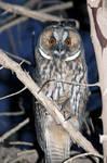 Backyard Owl