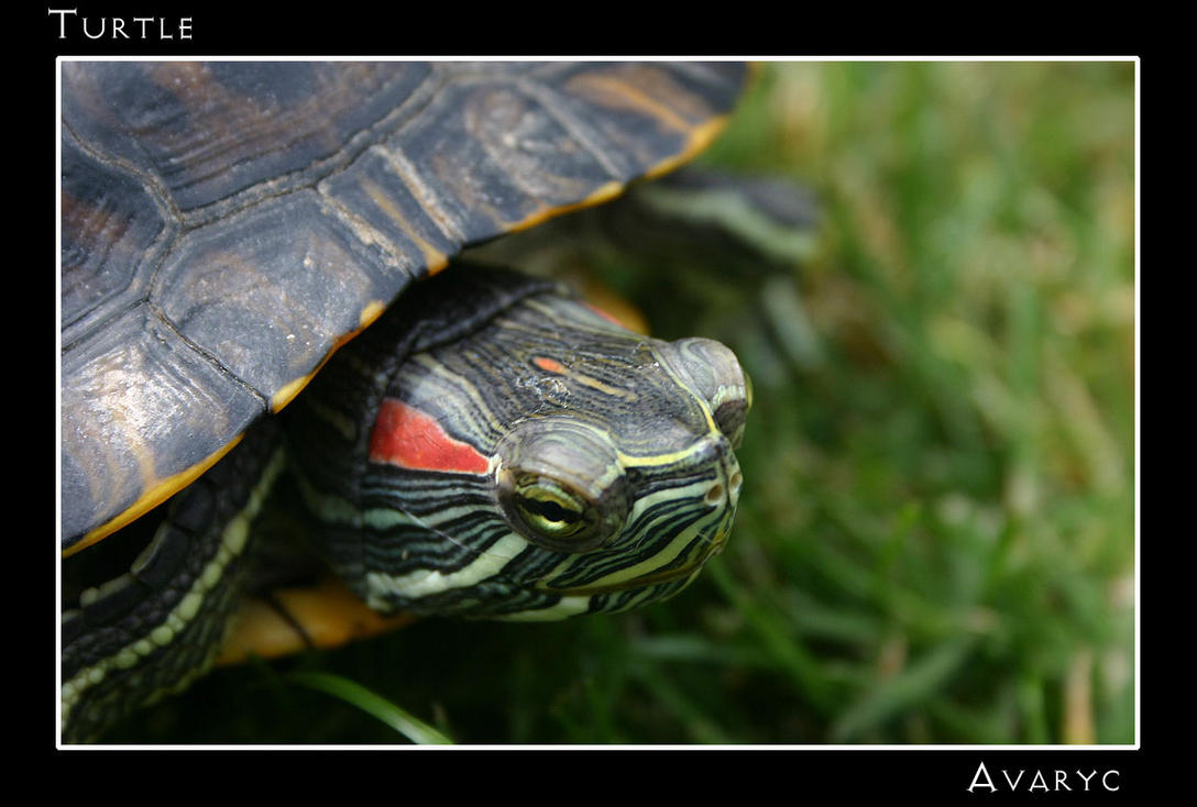 Turtle by Avaryc