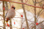 Waxwing with berries