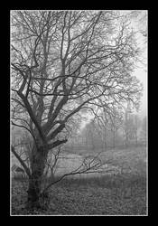 A tree in a foggy park