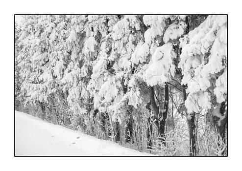 Snowy trees in line