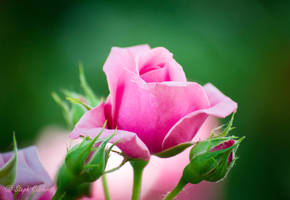 Pink Rose by StephGabler