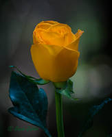 Yellow Rose by StephGabler