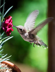 Baby Hummingbird II by StephGabler