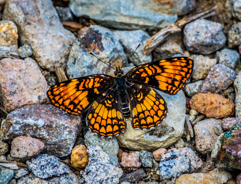 Hoffmans Butterfly by StephGabler