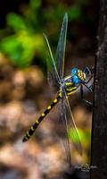 Delightful Dragonfly by StephGabler