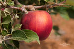 Ready for the Apple Harvest by StephGabler