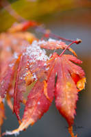 Snowflakes on the Maple by StephGabler