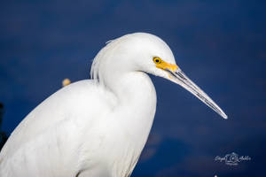 Snowy Egret by StephGabler