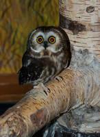 Teeny  Tiny Owl by StephGabler