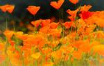 Spring Poppies