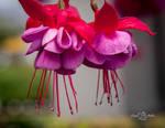 Fuchsia Bloom