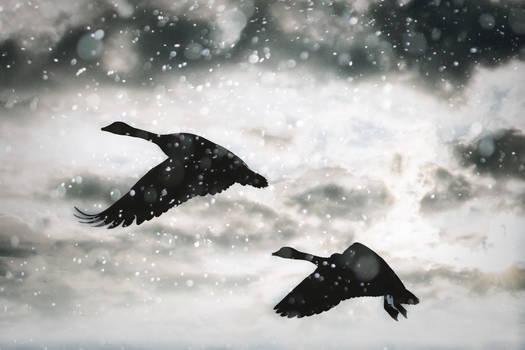 Canada Goose Snowflight