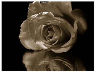 Valentine's Rose I by RawPhotography