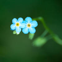forget-me-nots by Pete1987