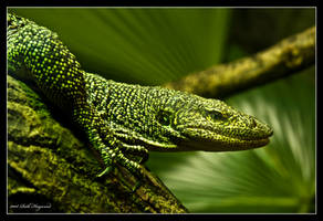 Monitor Lizard. by Haywood-Photography