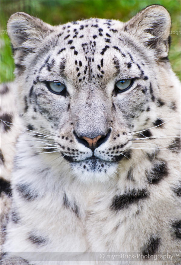 snow leopard in northern tibet Rodney jackson has described how a chinese engineer bought the remains of a snow leopard in tibet  in northern nepal, people have  nor on the value of the.