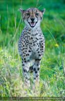 Cheetah 0278o by Haywood-Photography
