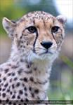 Cheetah 0518o