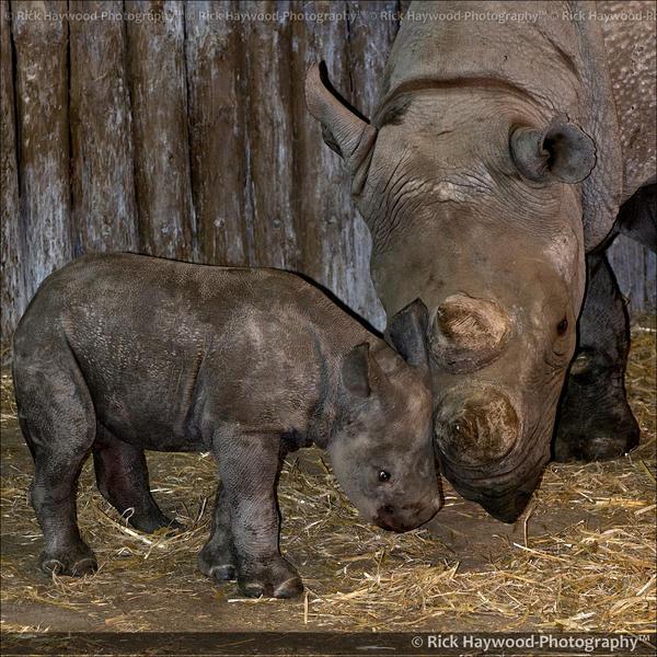 Baby Black Rhino 0848d by Haywood-Photography on DeviantArt