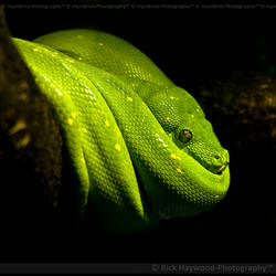 Green Python 0979j by Haywood-Photography