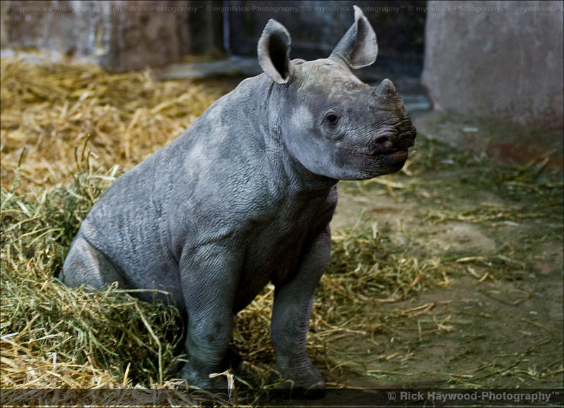 Baby Black Rhino 1159j by mym8rick on DeviantArt