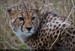 Beauty Thats The Cheetah 1339f by Haywood-Photography
