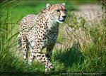 The Cheetah 243-10s