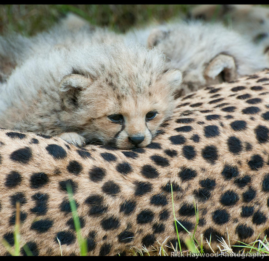 Cheetah Cub 144-12n by mym8rick