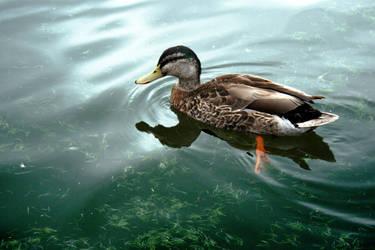 Duck by CathleenTarawhiti