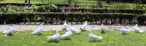 Doves stock