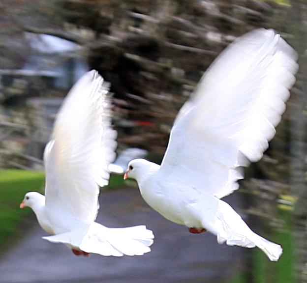 Doves 3 stock