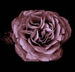 Mauve flower stock by CathleenTarawhiti