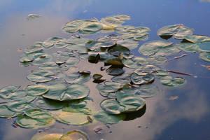 Lily pond by CathleenTarawhiti