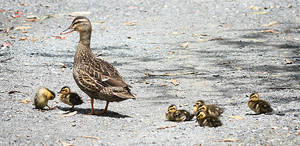 Duck and ducklings stock