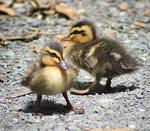 Ducklings stock 4