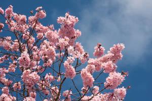 Blossom stock 7 by CathleenTarawhiti