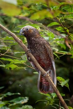 Bird stock - New Zealand Kaka