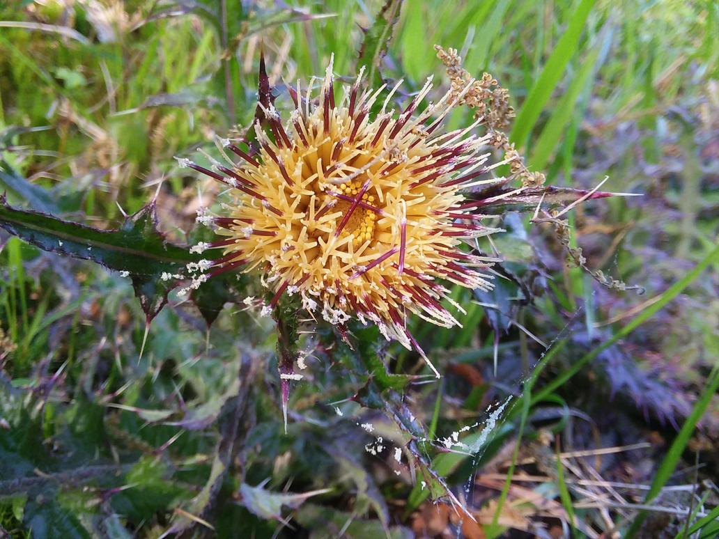 Yellow Thistle Flower Page By Apotheosisofedd On Deviantart