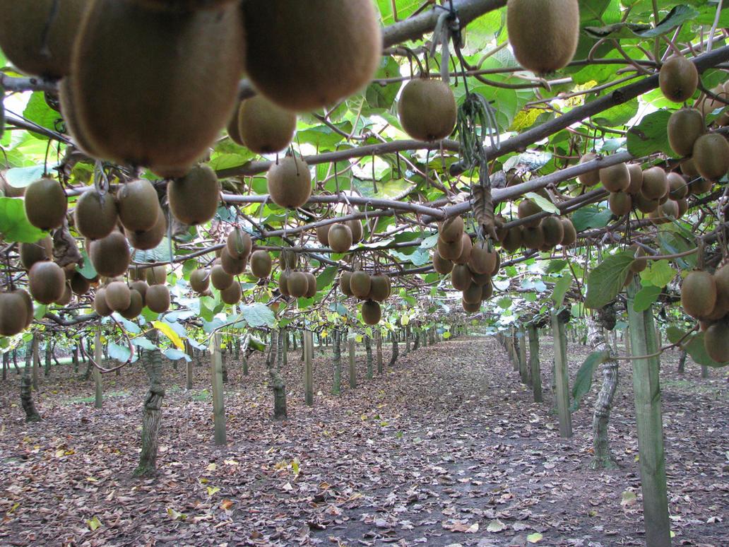 Kiwi plantation by cheejyg on deviantart for Kiwi pianta