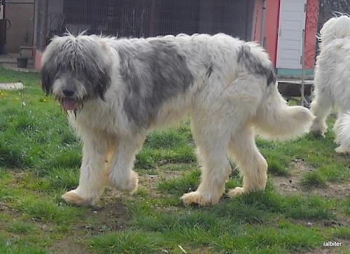 rumänischer hirtenhund