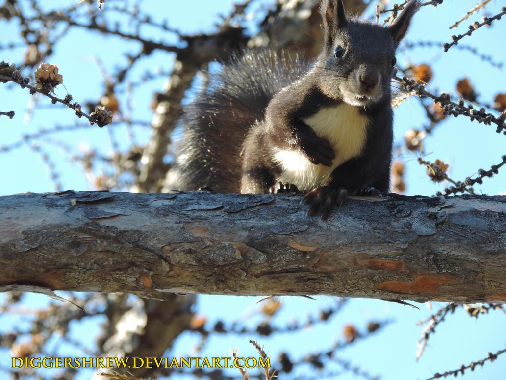 squirrel by DiggerShrew
