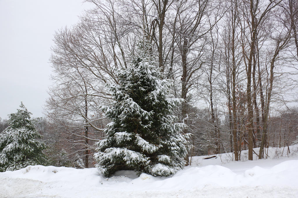 Frosted Pine by billy
